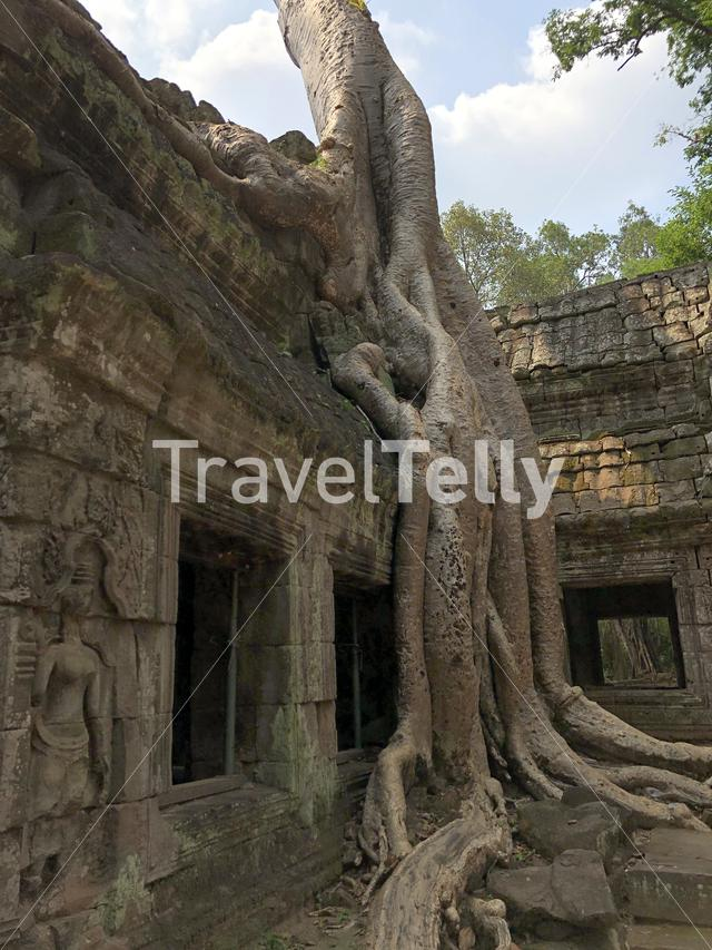 Tree roots at Ta Prohm Temple (tomb raider temple), Cambodia
