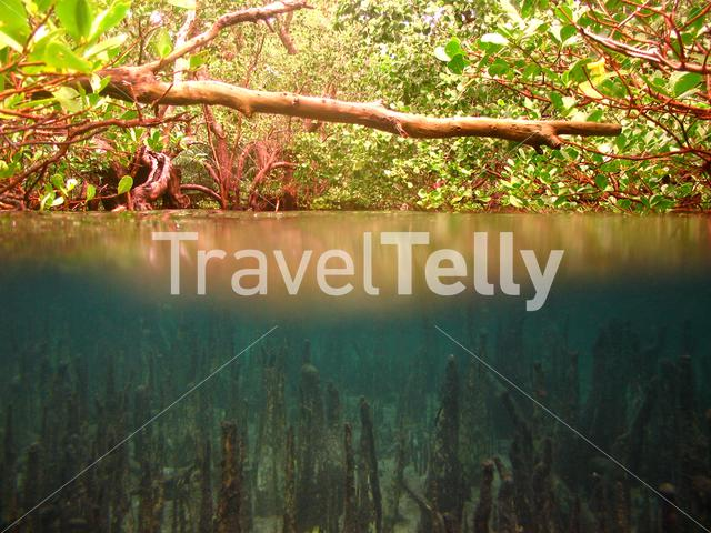 The mangrove the birthplace for many fish species in Bunaken National Marine Park Indonesia