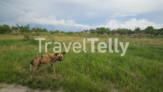 African wild dog looking towards the camera at Moremi Game Reserve in Botswana