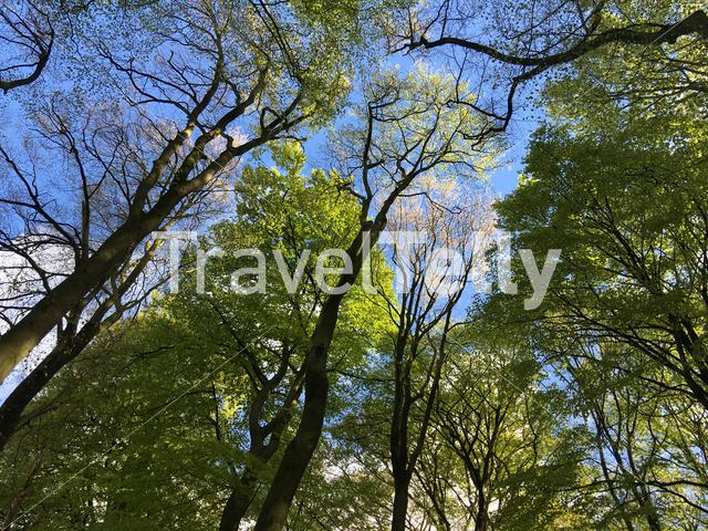 Big trees at the hoge veluwe in Ede The Netherlands