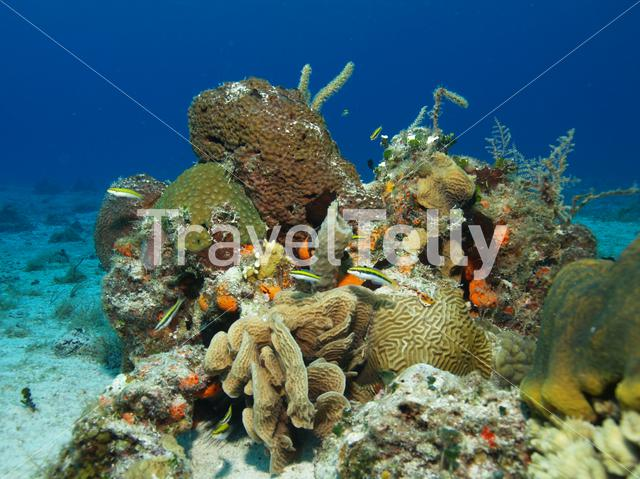 Coral in the Mesoamerican Reef Mexico