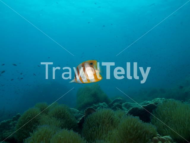 Copperband butterflyfish in Koh Chang Thailand