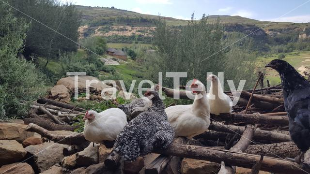 Chickens at a village in Lesotho Africa