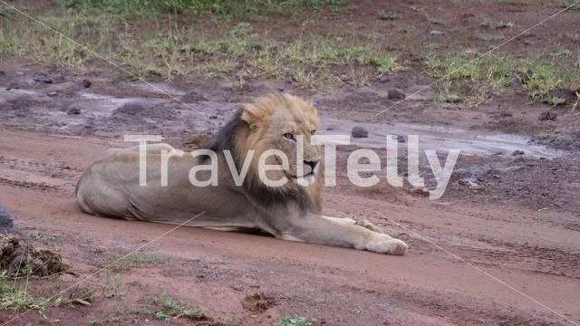 Male lion laying on a dirt road in Moremi Game Reserve, Botswana