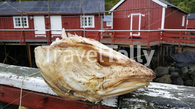 Fish head at the harbour of Nusfjord one of Norway's oldest fishing villages