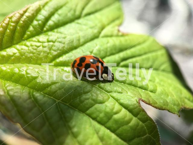 Ladybug on a leaf in The Netherlands
