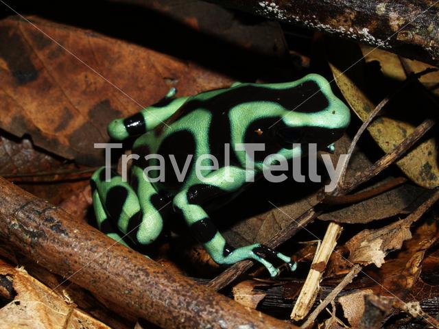 Green and black poison dart frog in Talamanca National Park Costa Rica