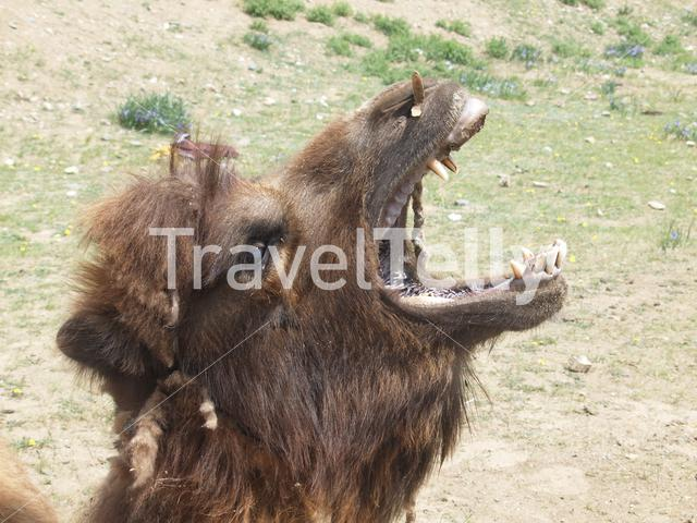 Bactrian camel with his mouth open