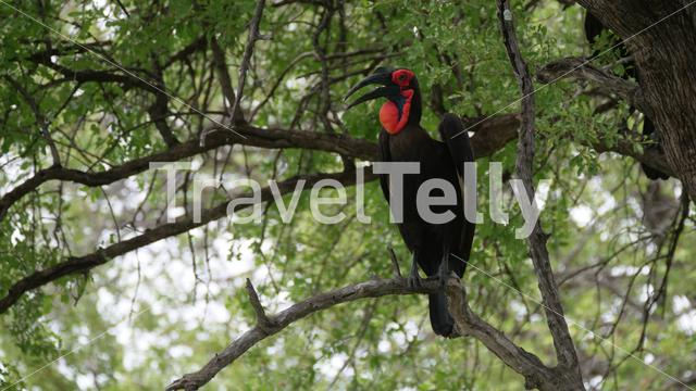 Southern ground hornbill in a tree