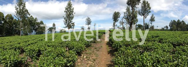 Path through the tea plantation around Bandarawela Sri Lanka