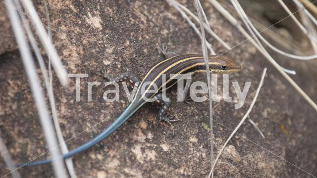 Five-lined skink on a rock in Fazao-Malfakassa National Park in Togo