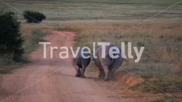 Two white rhinos walking away on a dirt road at Waterberg National Park South Africa