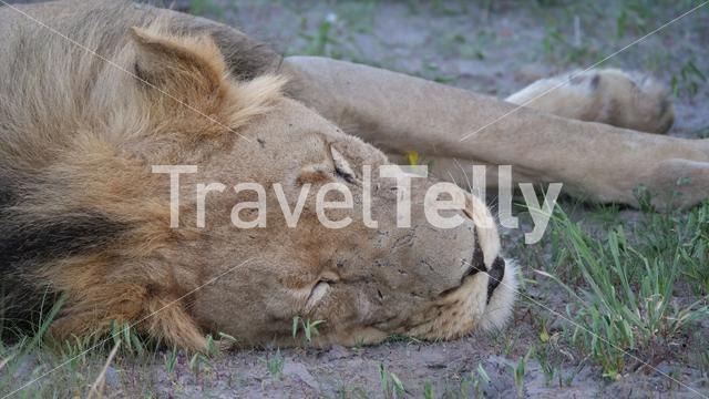Close up from Male lion at Central Kalahari Game Reserve in Botswana