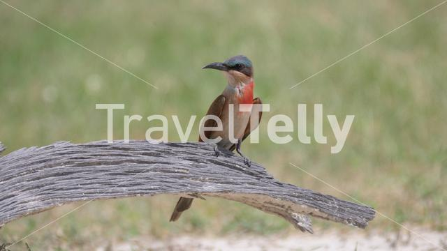 Bee-eater on a tree trunk