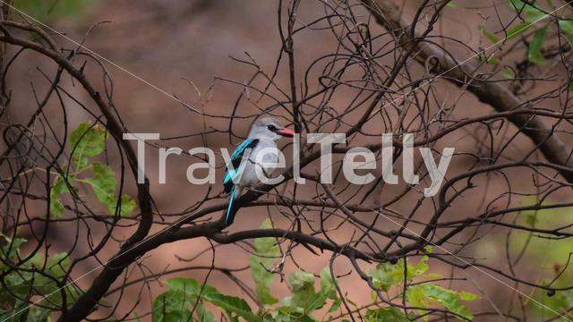 Woodland kingfisher on a branch in Gambia, Africa
