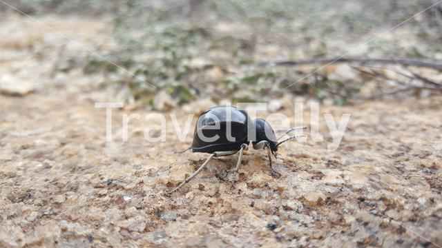 African beetle at Matobo National Park in Zimbabwe