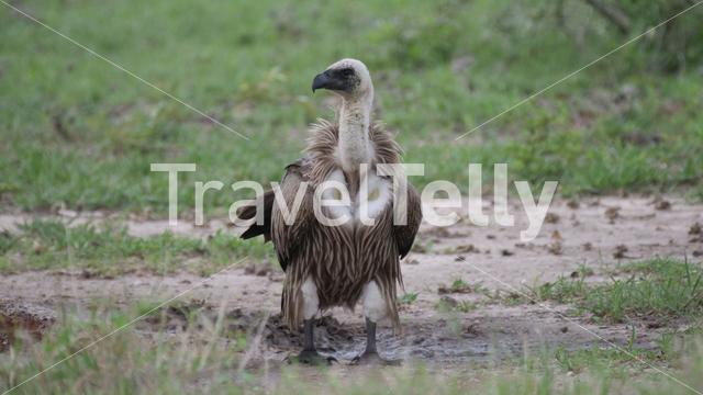 White-backed vulture on the ground at Nxai Pan in Botswana