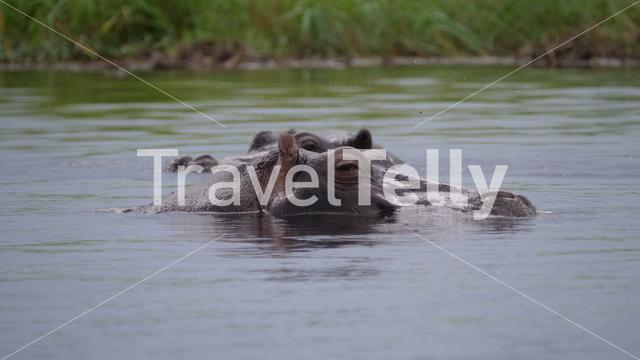 Two Hippos in a lake at Moremi Game Reserve, Botswana