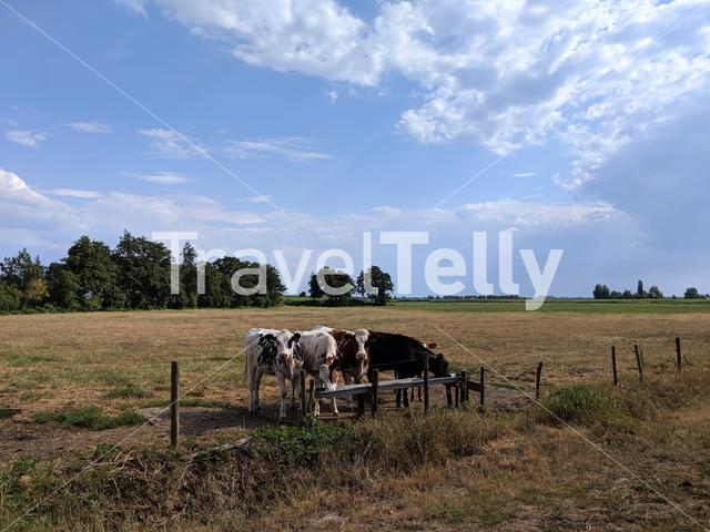 Calves at meadow Friesland The Netherlands