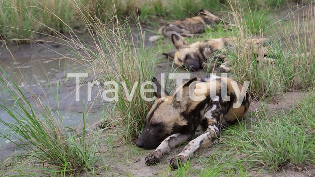 Three African wild dogs resting