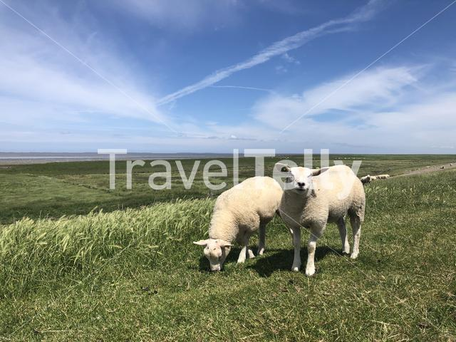 Sheeps on a dike in Friesland, The Netherlands