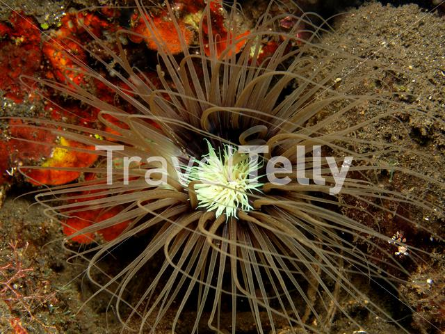 Sea anemone in Lembeh Sulawesi Indonesia