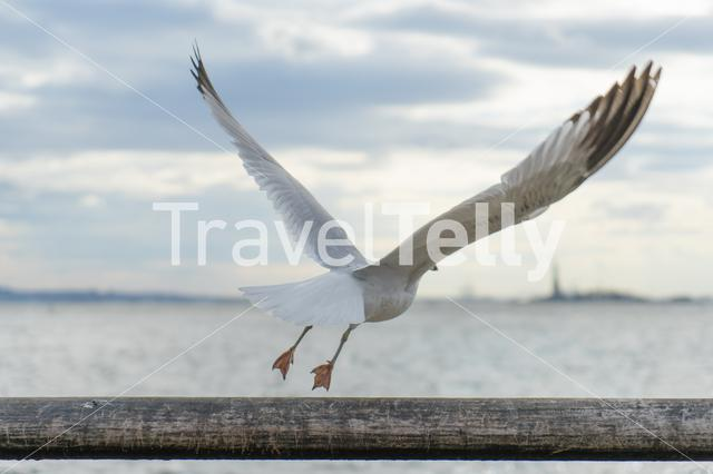 Gull flying away towards the statue of liberty in New York City
