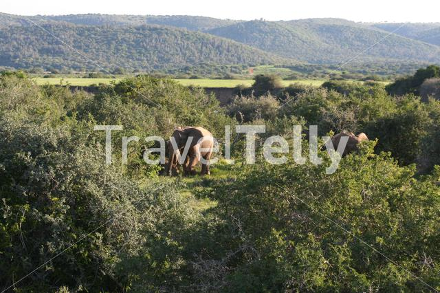 Herd of elephants on the savanna of south africa