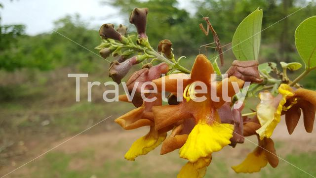 Praying mantis on a flower in Kiang West National Park Gambia, Africa