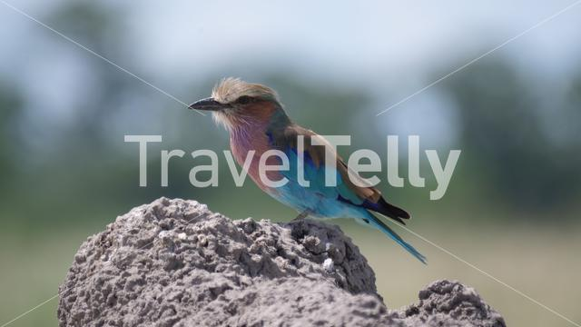 Lilac-breasted roller on a rock