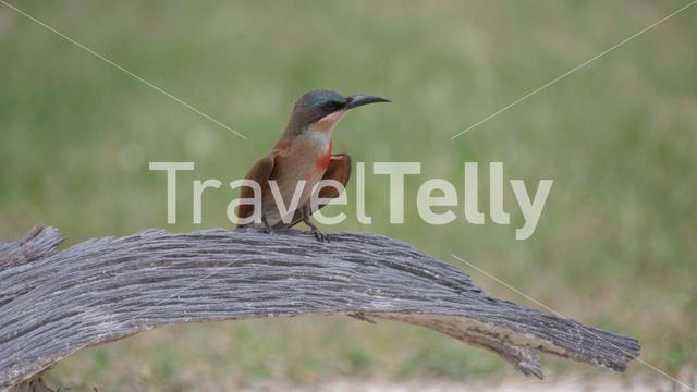Close up from a Bee-eater on a tree trunk