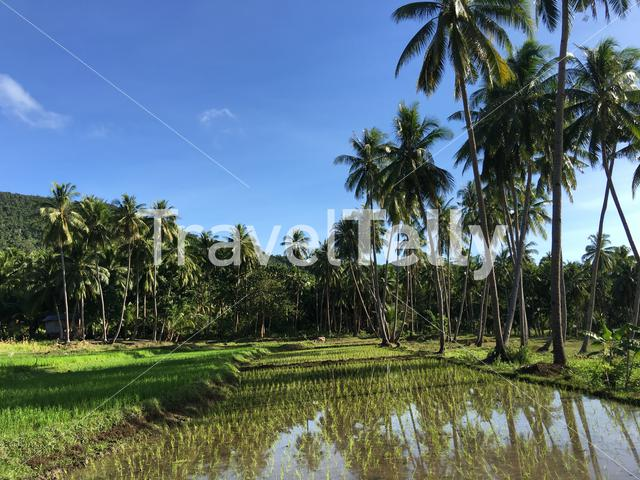 Rice field with palmtrees reflection at the morning in Anda Bohol the Philippines