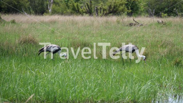 Two wattled crane birds eating from a grass field