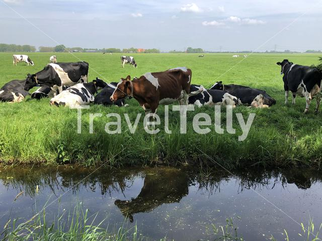Cows in the meadow in Friesland The Netherlands