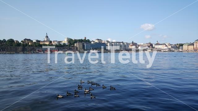 Canada Geese with södermalm at the background in Stockholm Sweden