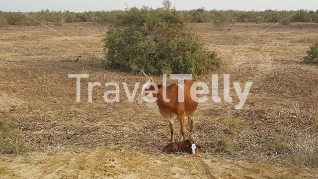 Cow with calf at Diawling National Park in Mauritania Africa