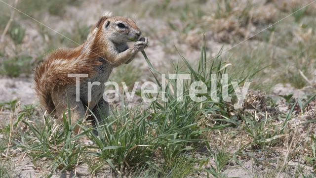 African ground squirrel searching for food in Central Kalahari Game Reserve, Botswana