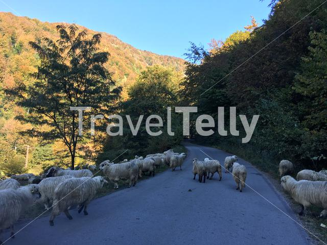 Road traffic from a group of sheeps on a road through the mountains of Romania