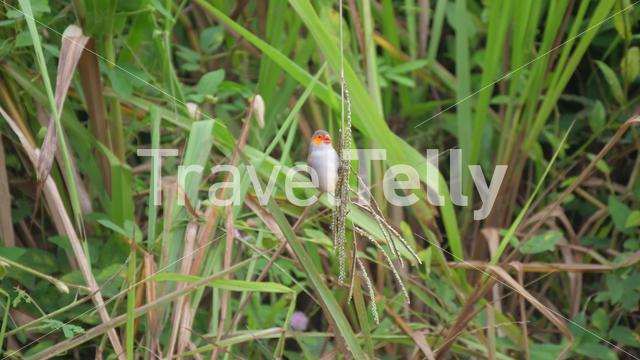 Orange-cheeked waxbill eating seeds from a plant