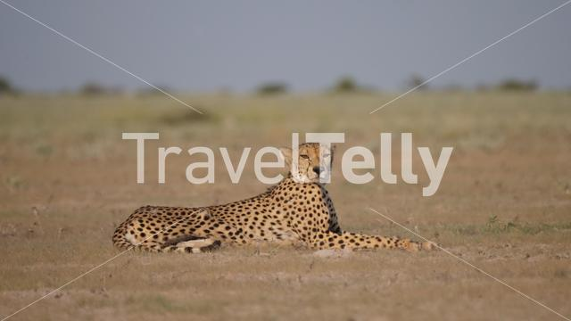 Cheetah at the savanna at Central Kalahari Game Reserve in Botswana