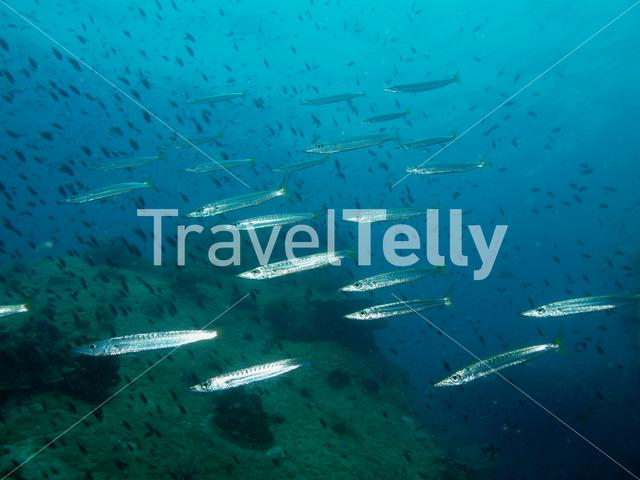 Group of Yellowtail barracuda in Koh Chang Thailand