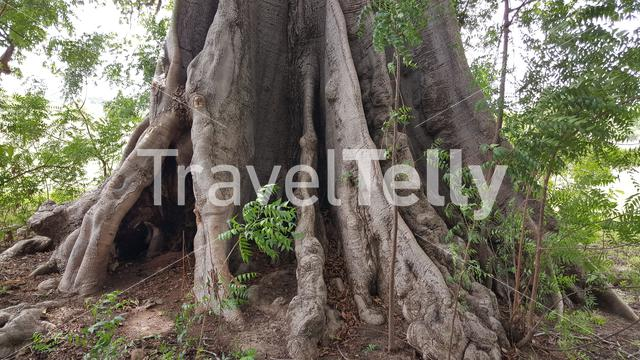 Baobab tree in Bao Bolong Wetland Reserve a National park in Gambia, Africa