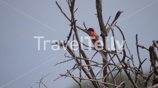 Southern carmine bee-eater on a tree branch