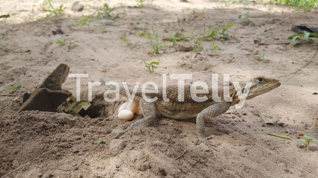 Lizard with eggs in Bao Bolong Wetland Reserve a National park in Gambia, Africa