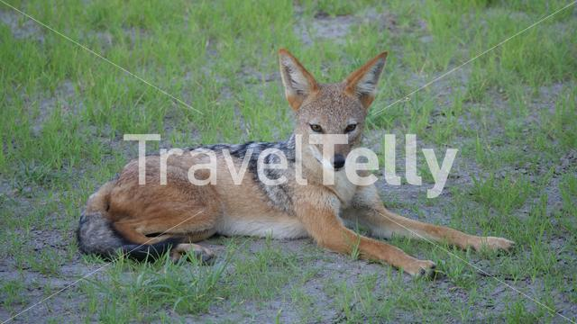 Black-backed jackal resting at Central Kalahari Game Reserve in Botswana