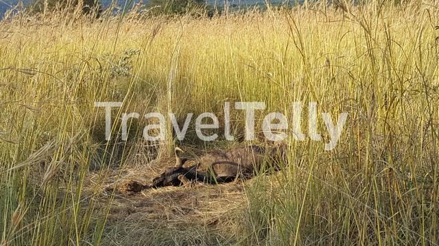 Death wildebeest in waterberg game park south africa