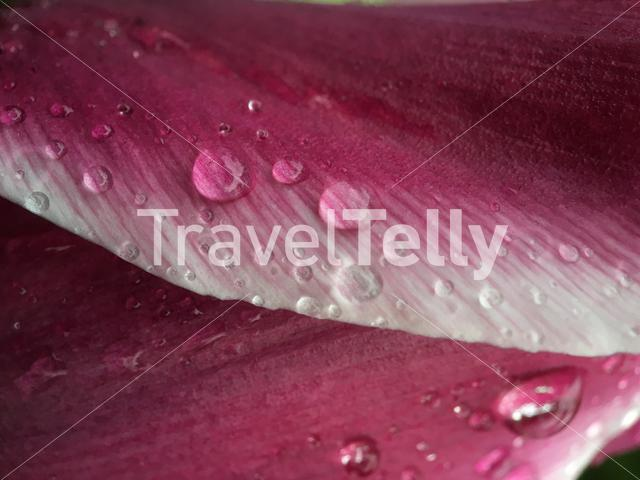 Water drops on a pink leaf in The Netherlands