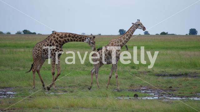 Female giraffe walks away from a male who follows her in Moremi Game Reserve, Botswana