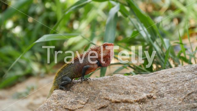 Common Green Forest Lizard (Calotes Calotes) in Sri Lanka