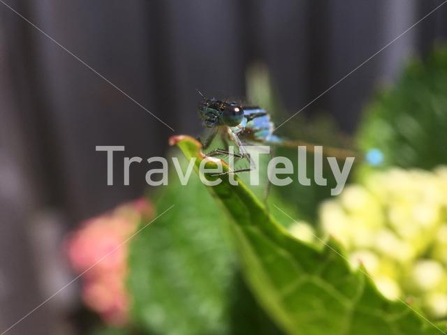 Macro from a dragonfly on a leaf